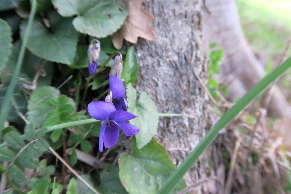 アーモンド・野スミレ花咲くミジャーナの春、イタリア_f0234936_6335533.jpg