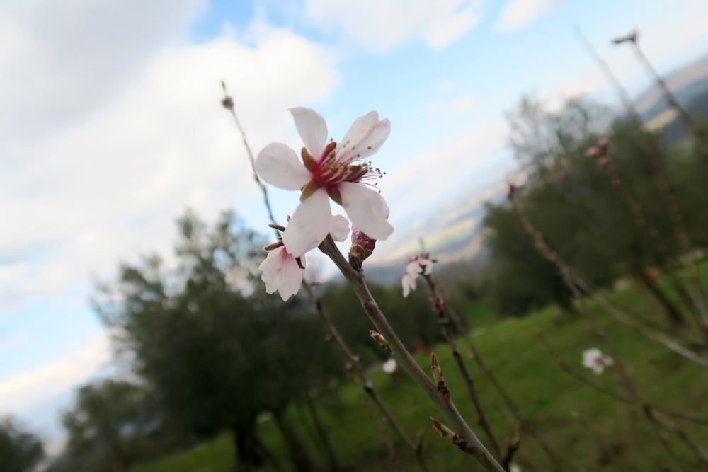 アーモンド・野スミレ花咲くミジャーナの春、イタリア_f0234936_6344522.jpg