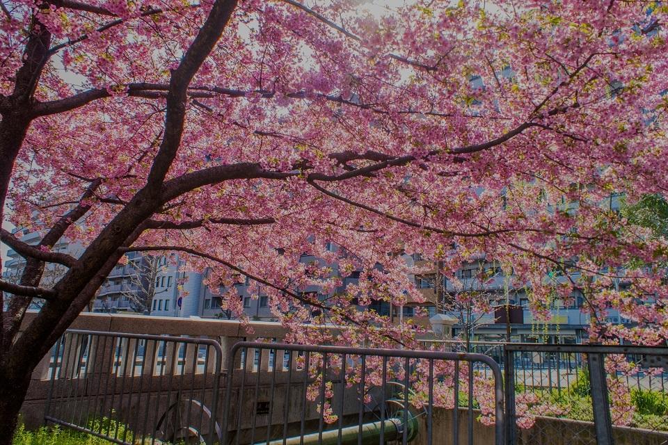 一条戻り橋の河津桜_e0363038_21190275.jpg