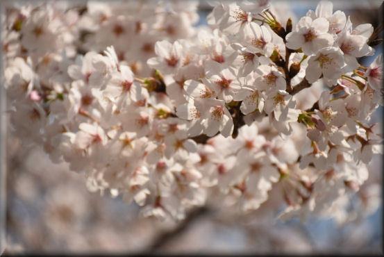 お花見散歩2018 @3月28日_f0363141_15122412.jpg