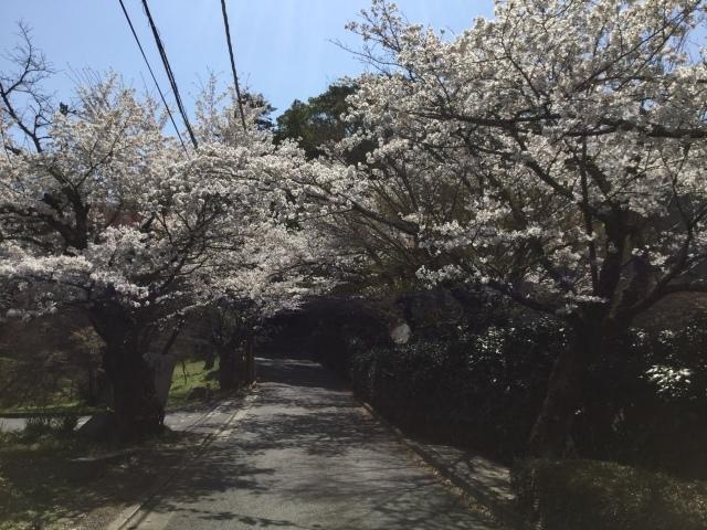 桜🌸_b0160356_21493711.jpg