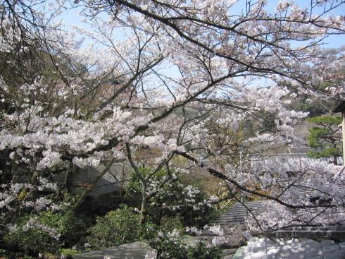 桜実況中継_c0078659_17355744.jpg