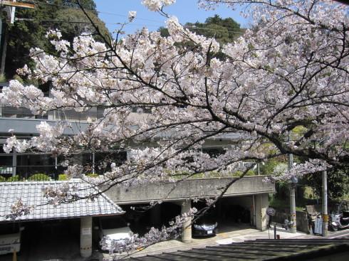 桜実況中継_c0078659_17371798.jpg