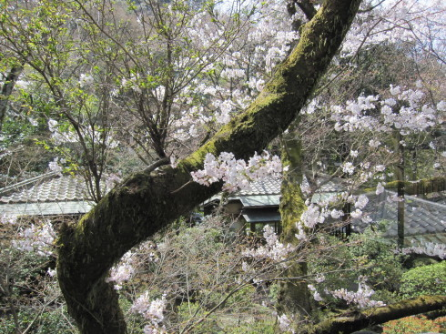 桜実況中継_c0078659_17385405.jpg