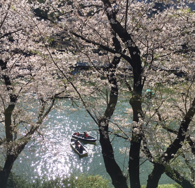 hanami dating その1 北の丸公園~千鳥ヶ淵_a0165160_15224503.jpg