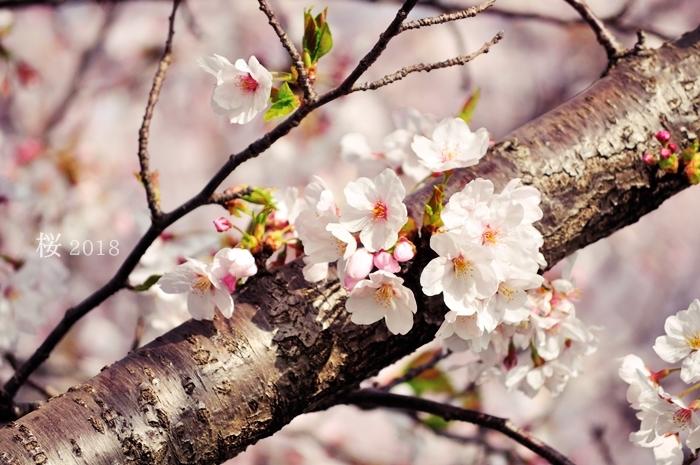 桜2018_f0234062_21435796.jpg
