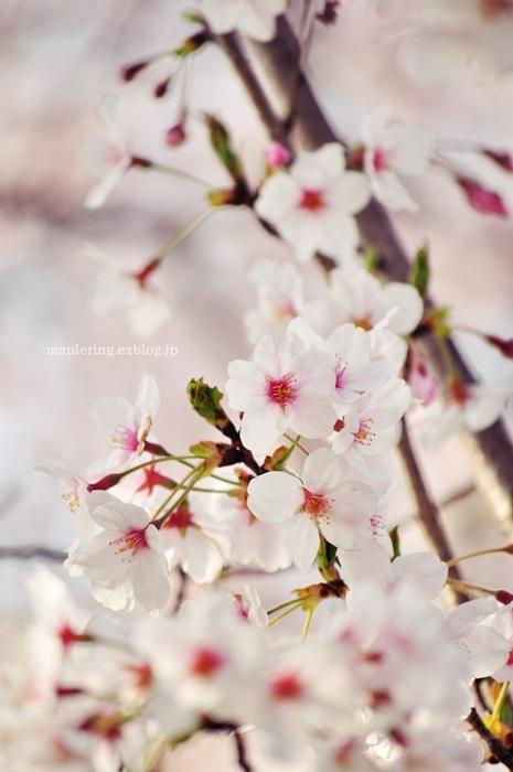 桜2018_f0234062_21455648.jpg