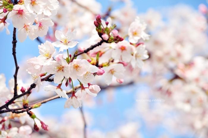 桜2018_f0234062_21460006.jpg