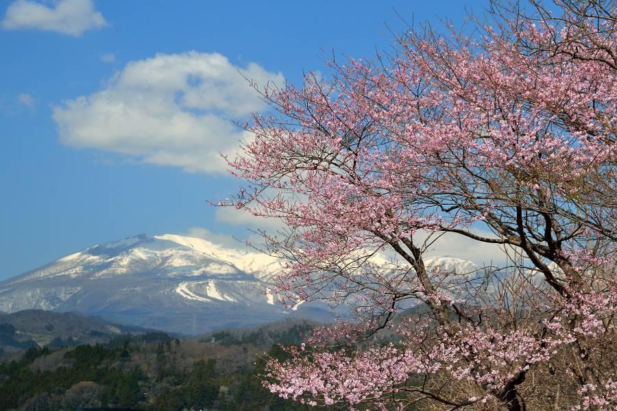 桜と木蓮_b0223668_10084065.jpg