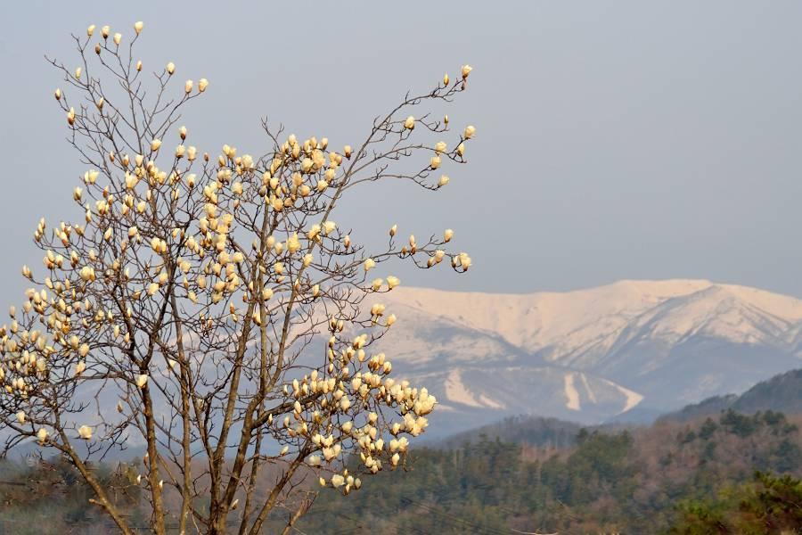 桜と木蓮_b0223668_10374213.jpg