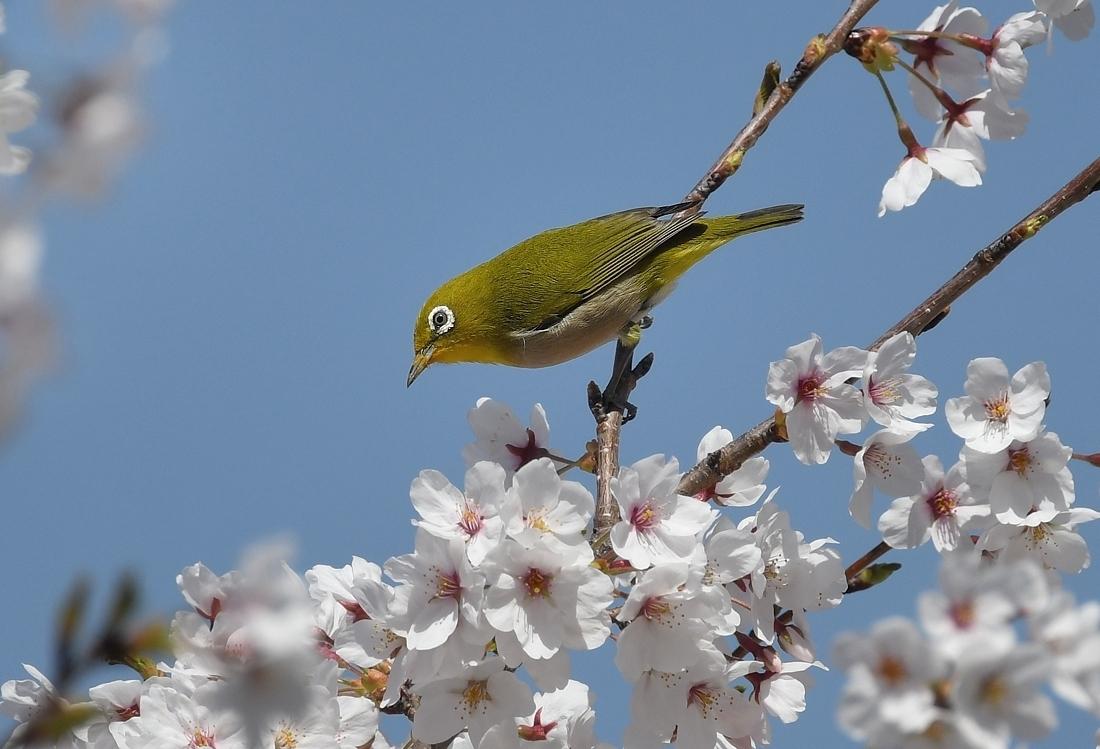 満開の桜にメジロ_f0053272_23170772.jpg
