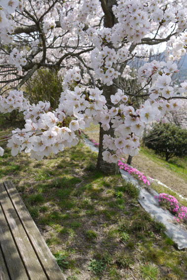 桜だより③ 〜満月と満開の桜と〜_c0334574_19382434.jpg