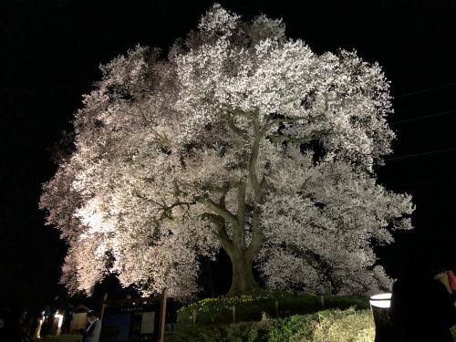 わに塚の桜🌸がライトアップしました>_d0338282_20511267.jpg
