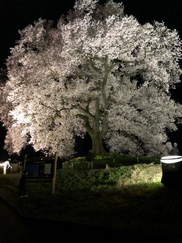 わに塚の桜🌸がライトアップしました>_d0338282_20512508.jpg