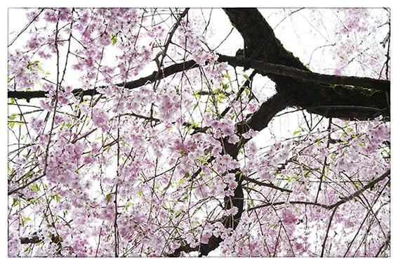 桜_d0111087_04272832.jpg