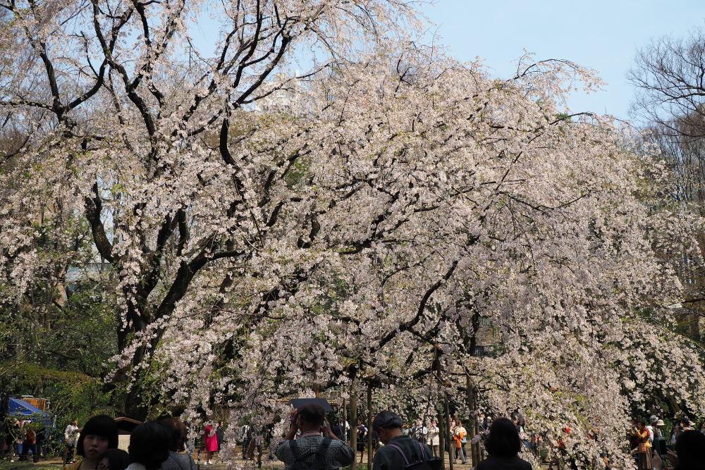 桜2018①六義園・後楽園_c0252688_14254610.jpg