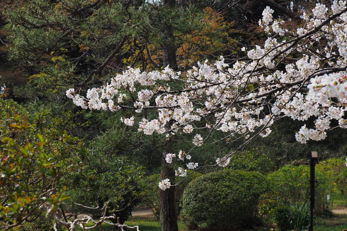 桜2018①六義園・後楽園_c0252688_14261010.jpg