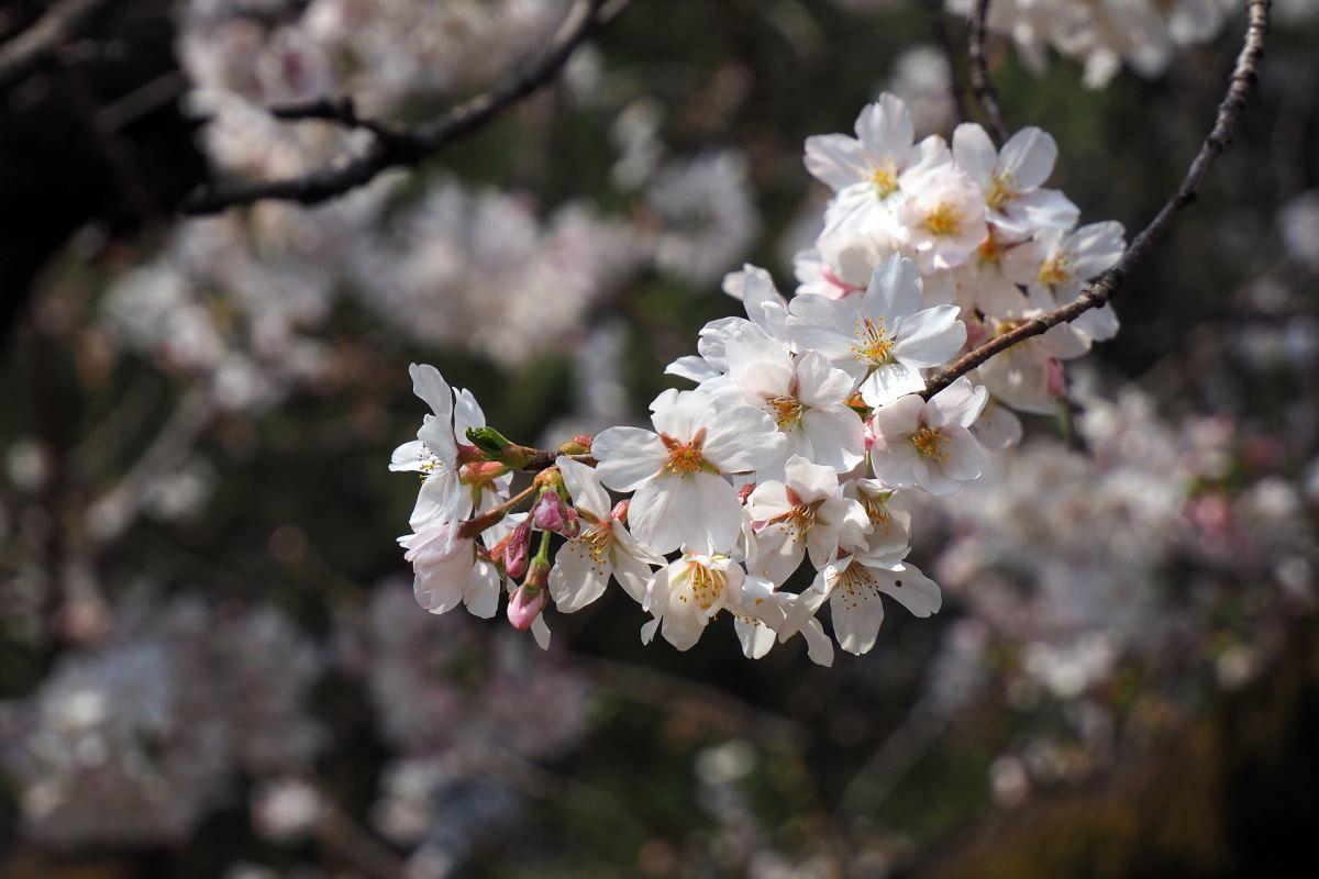 桜2018①六義園・後楽園_c0252688_14263953.jpg