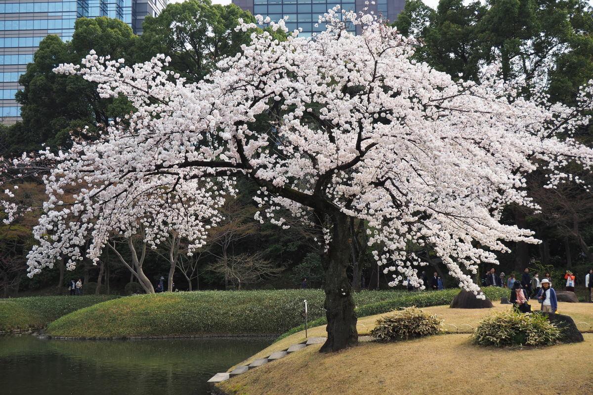 桜2018①六義園・後楽園_c0252688_14271678.jpg