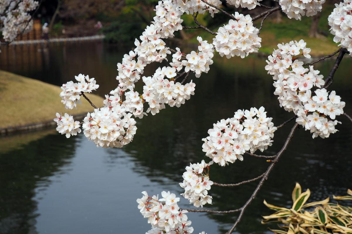 桜2018①六義園・後楽園_c0252688_14272940.jpg