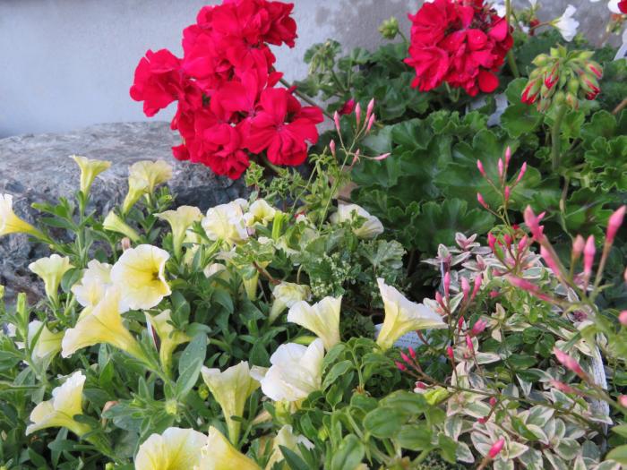 「寄せ植えギャラリー: 河内長野市」_a0233896_18554067.jpg