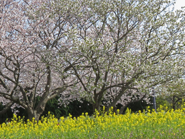 春満開。_a0047700_13201681.jpg