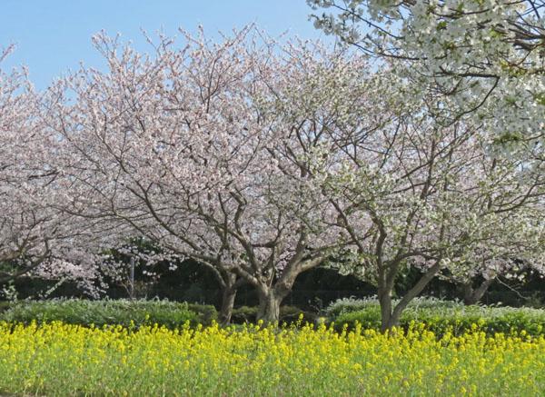 春満開。_a0047700_13203414.jpg