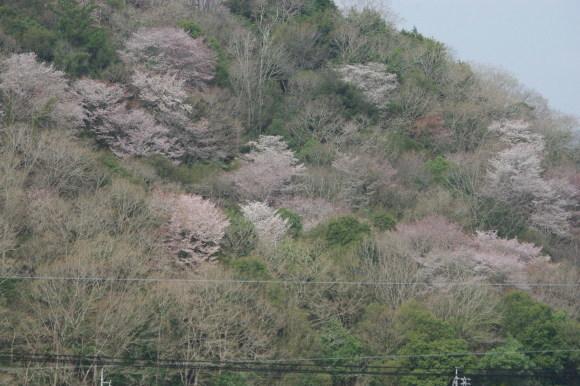 No 139  春真っ盛り福渡(4月1日)_d0341514_21261524.jpg