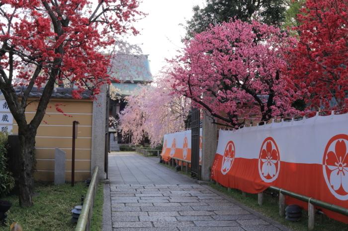 近所の南蔵院・・・枝垂れが例年...