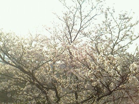 さくら通信2018 今年の上野の桜です 続き_c0038424_20511709.jpg