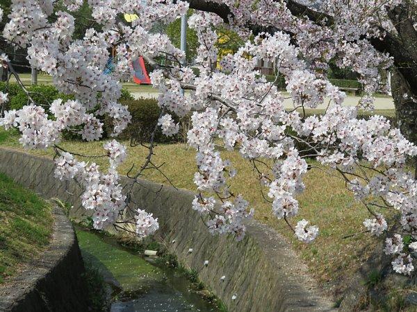 2018年4月4日 大きな公園の桜花_b0341140_15195032.jpg