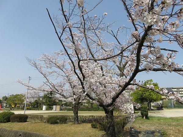 2018年4月4日 大きな公園の桜花_b0341140_15201523.jpg