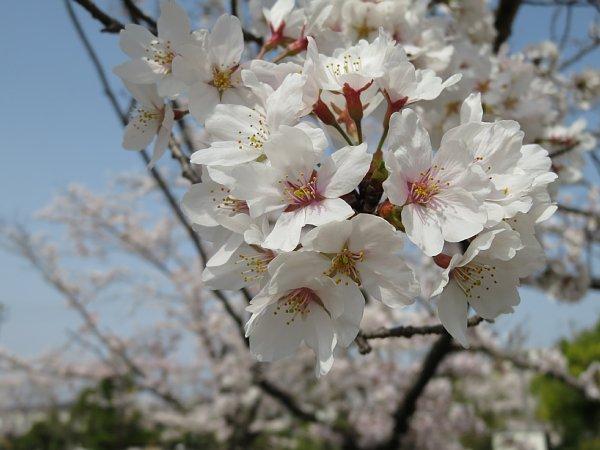 2018年4月4日 大きな公園の桜花_b0341140_15202744.jpg