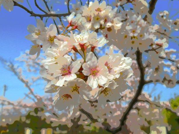 2018年4月4日 大きな公園の桜花_b0341140_15203749.jpg