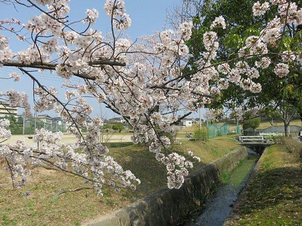 2018年4月4日 大きな公園の桜花_b0341140_1520518.jpg