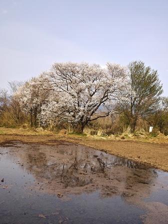 高島市今津町のエドヒガンザクラ・・・4月1日_d0005250_1811785.jpg