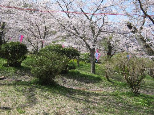 4月1日の桜開花状況_c0363752_11112365.jpg