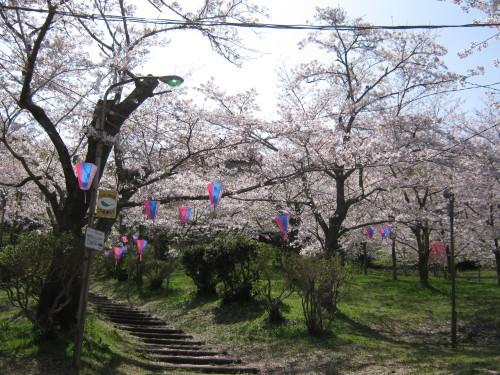4月1日の桜開花状況_c0363752_11114203.jpg