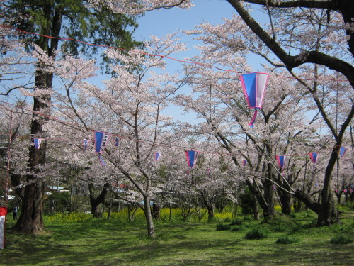 4月1日の桜開花状況_c0363752_11121266.jpg