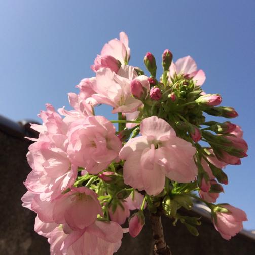 桜日和_b0273973_18131137.jpg