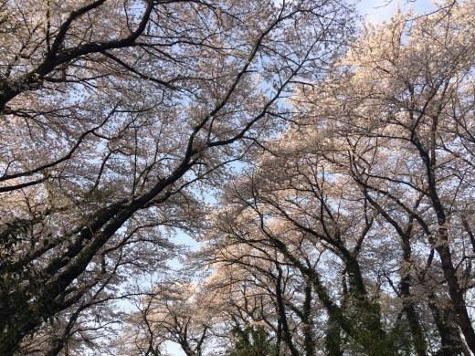 桜の天国で_f0219590_10414613.jpg