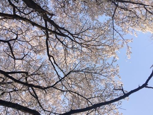 桜の天国で_f0219590_10420675.jpg