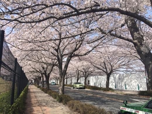 桜の天国で_f0219590_10422580.jpg