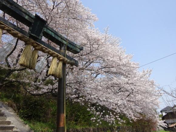 桜_b0163121_21173121.jpeg
