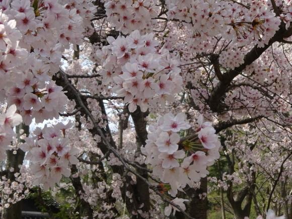 桜_b0163121_21295031.jpeg