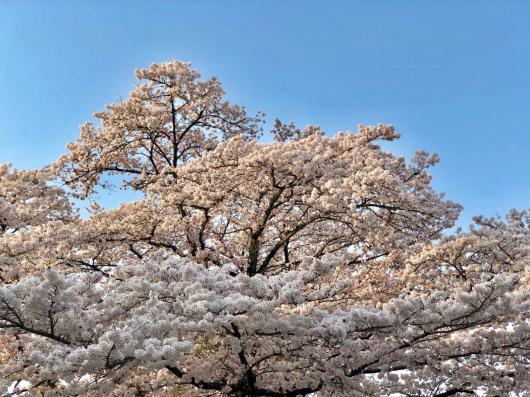 桜2018_f0126965_18152158.jpg