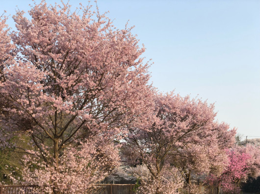 桜2018_f0126965_18154842.jpg
