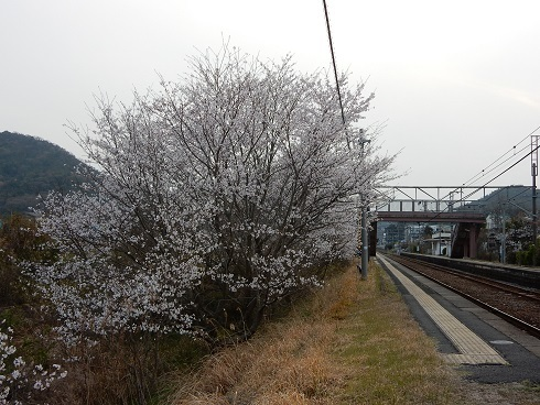 安浦桜巡り_e0175370_23213403.jpg