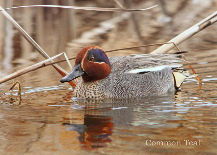 コガモ:Green-winged Teal_b0249597_07010813.jpg