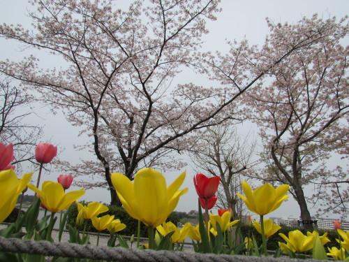千波湖のサクラ_c0018010_10215271.jpg